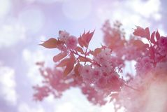 Pink cherry blossom with bokeh background. Dreamy Pink cherry blossom flowers with bokeh background Stock Image