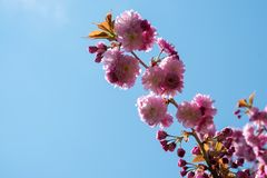 Pink Cherry blossom branch. Against blue sky Stock Photos