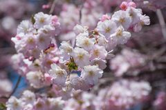 Pink Cherry blossom branch. Pink Cherry blossom flowers during spring Stock Images