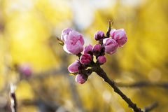 Pink Cherry Blossom  on the branch. In the spring sunny day against yellow bush Royalty Free Stock Photos