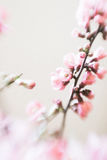 Pink cherry blossom branches selective soft focus Royalty Free Stock Photography