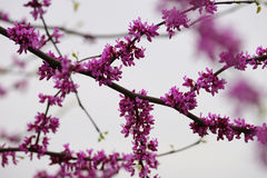 Pink cherry blossom and buds Royalty Free Stock Images