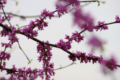 Pink cherry blossom and buds Stock Photos