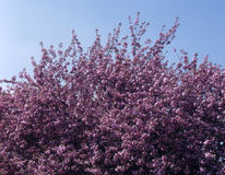 Pink Cherry Blossom bush. Against blue sky Stock Photography