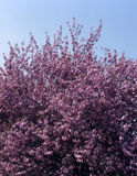 Pink Cherry Blossom bush. Against blue sky Royalty Free Stock Photography