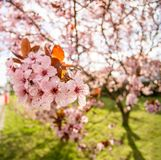 Pink cherry blossom in the city stock photography