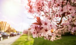 Pink cherry blossom in the city royalty free stock photography