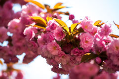 Pink cherry blossom. A detailed shot of pink cherry blossom tree Stock Image