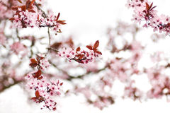 Pink cherry blossom in early spring. Pink cherry blossom on a cold day in early spring - shallow dept of field Royalty Free Stock Images