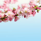 Pink Cherry Blossom Floral Border Stock Photography