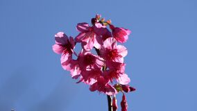 Pink cherry blossom flower on blue sky background.  stock video footage