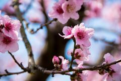 Pink Cherry Blossom Flower on Branch royalty free stock photo