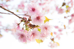 Pink cherry blossom flower Royalty Free Stock Photography