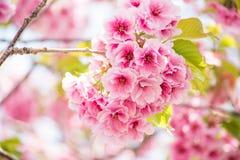 Pink cherry blossom flower Stock Photos