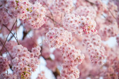 Pink cherry blossom flower Royalty Free Stock Photos