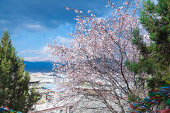 Pink cherry blossom flower in old town in china Royalty Free Stock Photos