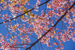 Pink cherry blossom flower stock images