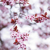 Pink cherry blossom flowers. Blooming pink cherry blossom flowers in early spring - square image Stock Photography