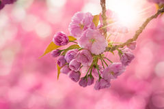 Pink Cherry Blossom Flowers Royalty Free Stock Images