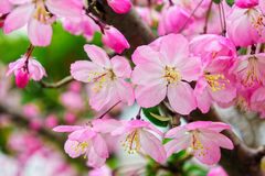 Pink cherry blossom flowers in garden Stock Image