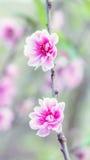 Pink cherry blossom. Flowers (sakura) in the garden Stock Images