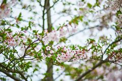 Pink cherry blossom flowers on a spring day Stock Photos