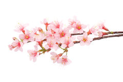 Pink Cherry blossom flowers Royalty Free Stock Photos