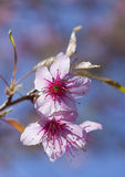 Pink Cherry Blossom Folwers Stock Images