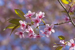Pink Cherry Blossom Folwers Stock Photos