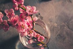 Pink cherry blossom. Fresh pink cherry blossom twigs posy in glass vase on gray background, retro toned Royalty Free Stock Photo