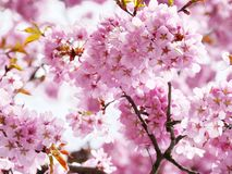 Pink cherry blossom in full bloom. Royalty Free Stock Photography