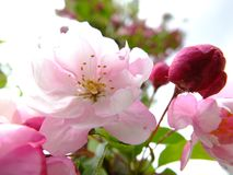 Pink cherry blossom in full bloom. Stock Photography