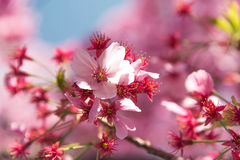 Pink cherry blossom Stock Images