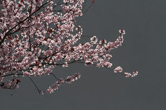 Pink cherry blossom with Grey Wall background. Sunlit Pink cherry blossoms with Grey Wall background Stock Images