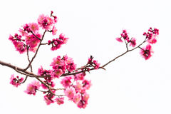 pink cherry blossom isolated on white Stock Photo