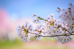 Pink cherry blossom in Japan Royalty Free Stock Images