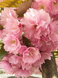 Pink cherry blossom, Japanese sakura tree. Spring flowering of pink sakura in the park Royalty Free Stock Photo