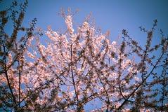 Cherry blossom against a blue sky stock image