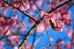 Pink cherry blossom and little bird Royalty Free Stock Photos