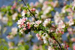 Pink Cherry blossom with nice blue sky Royalty Free Stock Photo