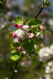 Pink Cherry blossom with nice blue sky Stock Photo
