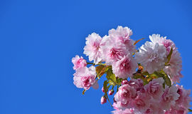 Pink cherry blossom over blue sky Royalty Free Stock Photography