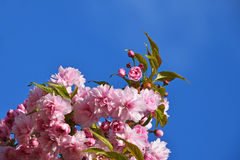 Pink cherry blossom over blue sky Royalty Free Stock Photo