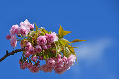 Pink cherry blossom over blue sky Royalty Free Stock Photos