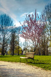 Pink cherry blossom over spring on park with bench Royalty Free Stock Photos