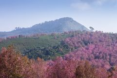 Pink cherry blossom at Phu Lom Lo Stock Photo