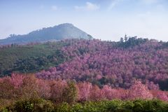 Pink cherry blossom at Phu Lom Lo Royalty Free Stock Images