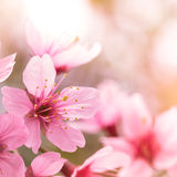 Pink cherry blossom sakura Royalty Free Stock Photography