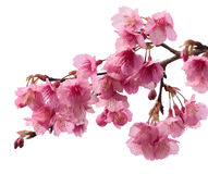 Pink cherry blossom sakura. Isolated Pink cherry blossom sakura Royalty Free Stock Photo