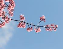Pink cherry blossom sakura Stock Images